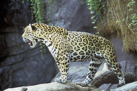 all about jaguars top 10 endangered species animal facts all about