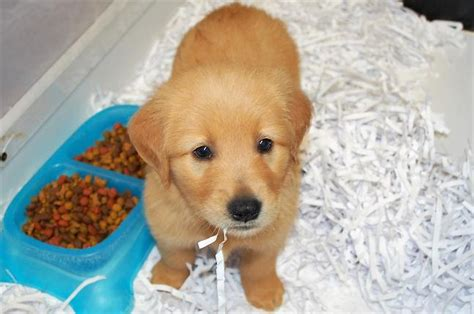 golden retriever rescue alabama golden retriever puppies baldwin county alabama photo