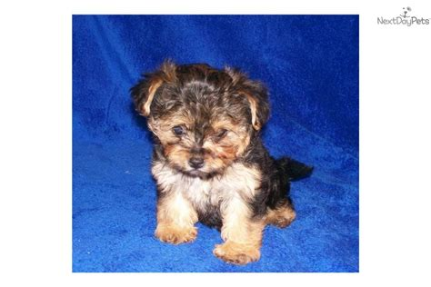 yorkie poo puppies for sale in springfield mo yorkiepoo yorkie poo for sale for 1 200 near springfield missouri ead7ca98 1651
