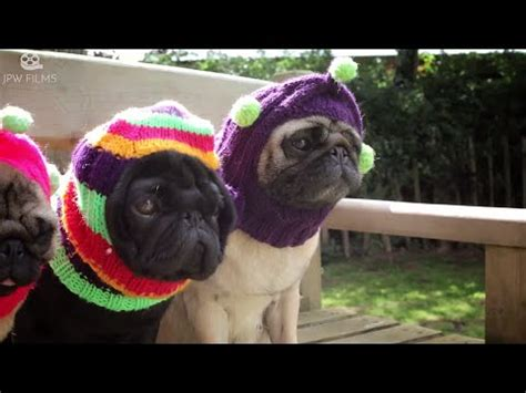 pug documentary documentary proves pugs are the best dogs