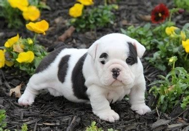 bulldog puppies 250 dollars t cup puppies 100 dollars for sale united states pets 6