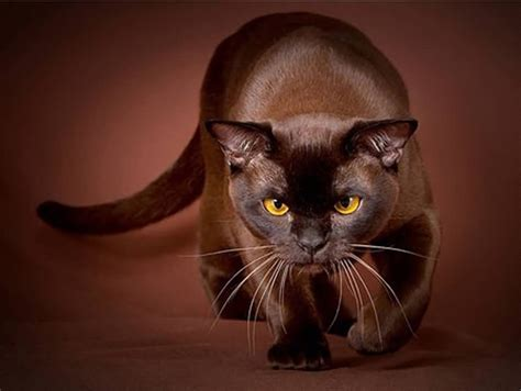 adorable brown havana cat pictures  images