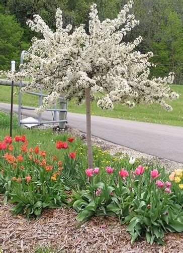 dwarf ornamental trees zone 5 www pixshark com images galleries with a bite