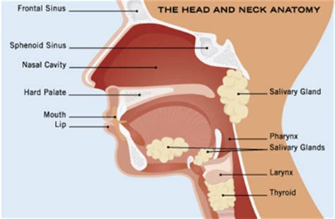 glands in the neck diagram about the otolaryngology and neck surgery clinic