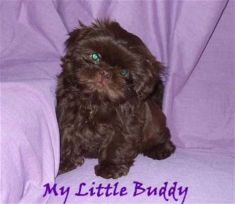 chocolate shih tzu for sale shih tzu haircuts quotes