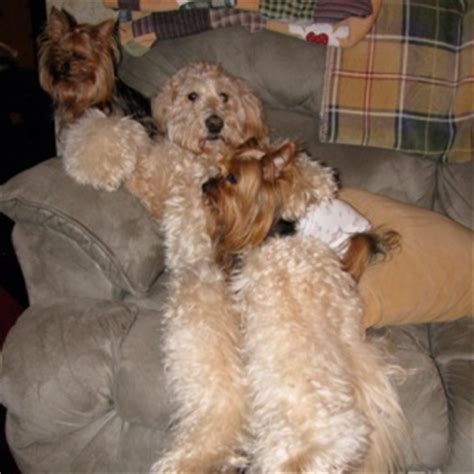 yorkie doodles 17 best images about goldendoodles on service dogs labradoodles and