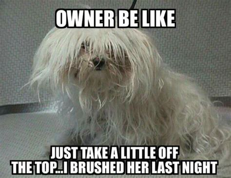 Dog Groomer Meme - 145 best images about groomer humor on pinterest poodle cuts dog separation anxiety and poodles