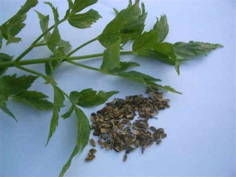 levistico in cucina erbe aromatiche e spezie