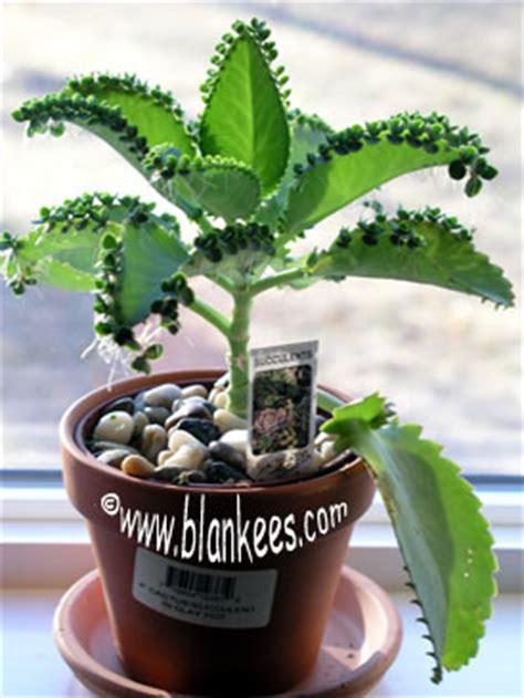 poisonous house plants devil s backbone