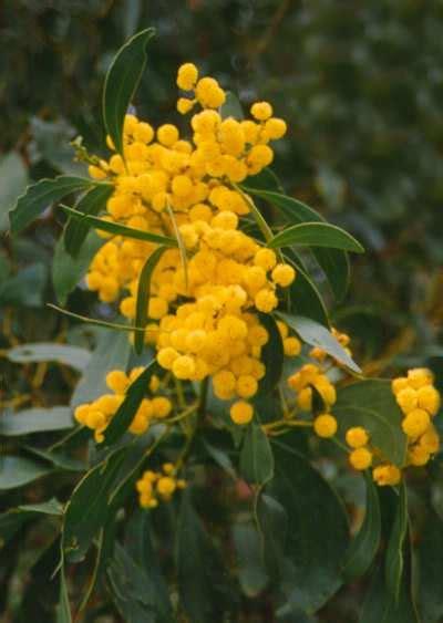 acacia saligna australian native plants plants