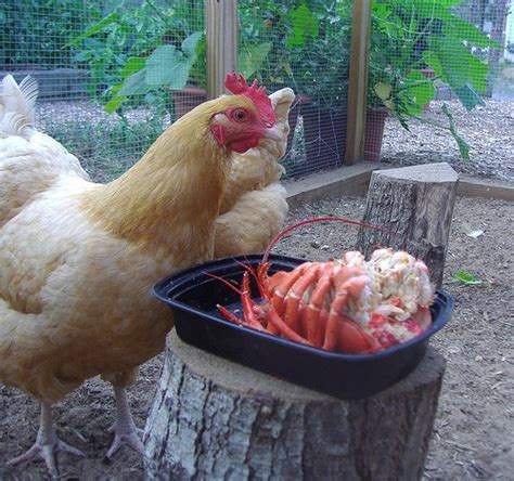 best chickens for small backyard best backyard chicken backyard chicken chicken treat