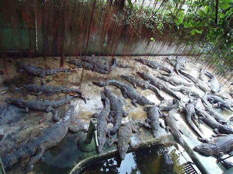 Crocodile farming in the Philippines - Wikipedia