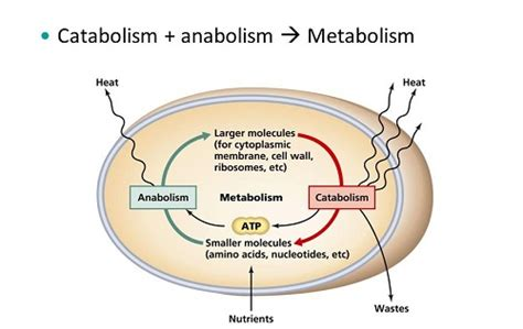 weight management forest how metabolism is related to weight management nutrition