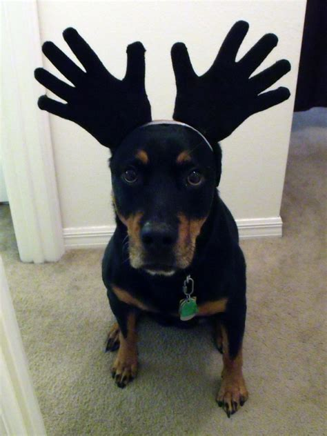 costumes for rottweilers 20 costume ideas reader roundup 2011 187 dollar store crafts