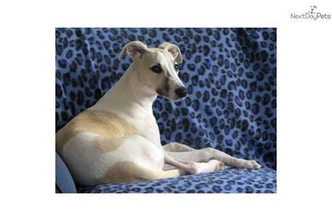 dachshund puppies for sale cincinnati ohio puppies for sale from piper whippets and dachshunds nextdaypets