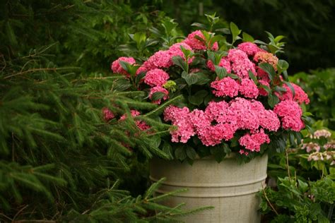 flowering shrubs for pots hydrangeas for containers hgtv