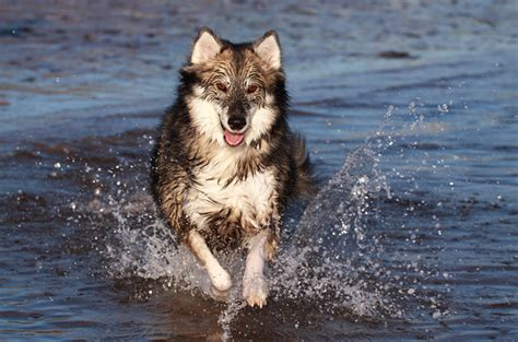 that looks like a wolf 17 breeds list that look like wolves wolf dogs zoopedia