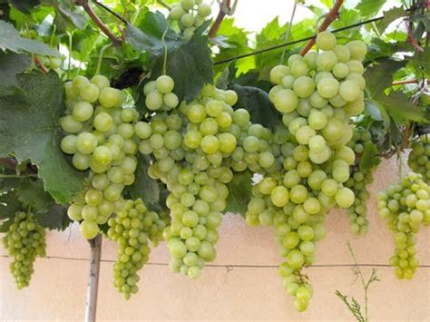 top 28 do grapes grow on trees or vines how to grow