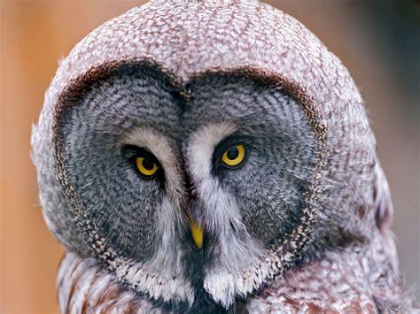 grey owl wallpaper best desktop wallpaper of great grey owl wallpaper of