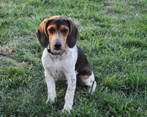 blue beagle puppies basic care for blue tick beagle puppies breeds puppies