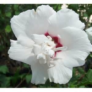 patio hibiscus shrubs 1x 4ft large standard patio hibiscus specious