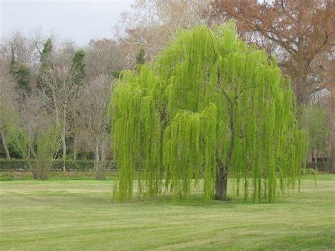 salice piangente gli alberi coltivazione salice