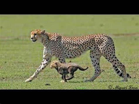 imagenes del jaguar con sus crias africa salvaje guepardo lucha por defender a sus crias vs