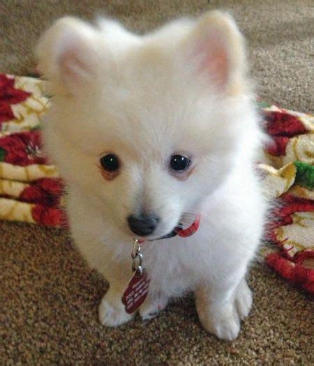 cutest pomeranian mixes best 25 pomeranian mix ideas on pomsky pomsky puppies and fluffy breeds
