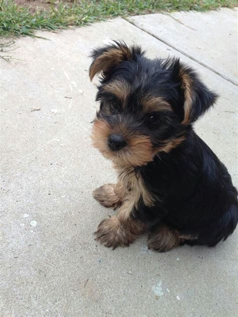 is toto a yorkie 290 best images about terrier on terrier yorkie