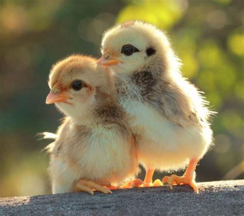 Baby Chicken Heat L by