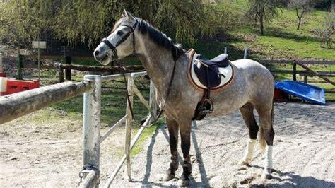 Palomino Zizi poney fran 231 ais de selle a vendre pas cher tout sur le cheval