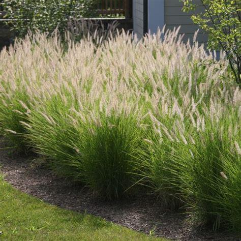 dwarf fountain grass pennisetum hameln dwarf fountain grass garden pinterest search