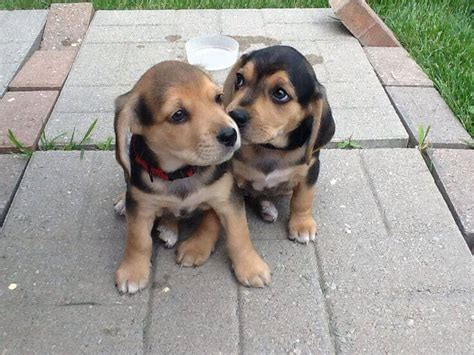 beagle lab mix puppies beagle lab mix beagador characteristics appearance and pictures