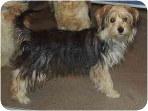 yorkie house tn adopted white house tn yorkie terrier maltese mix
