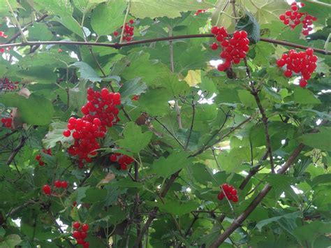 And Berries berries commonweeder