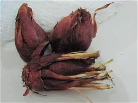 Obat Kolesterol Asam Urat Paling Manjur Bawang Dayak 30kps bawang tiwai