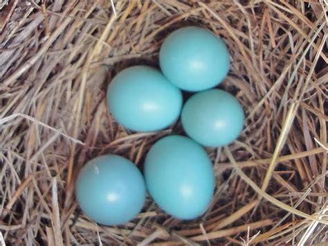 what color are bluebird eggs hybrid birder abnormal bluebird eggs