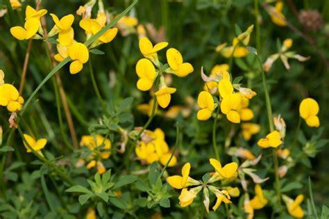 lotier cornicule