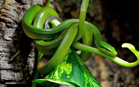 imagenes de serpientes oscuras serpientes cuidados en cautividad serpientes y venenosas