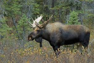 Duvet Cover Vs Duvet Moose Alces Alces In A Forest Alberta Photograph By