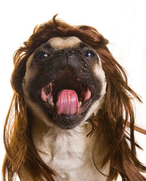 hair pug top 10 hilarious with wigs top inspired