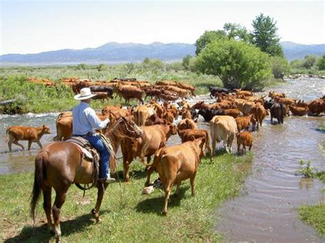 how to a working cow 12 reasons to use a for working cattle richard beal