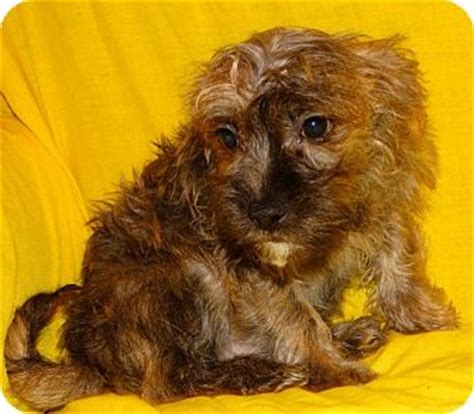 yorkie poodle mix for adoption pet not found