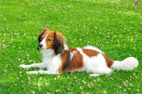 how is a puppy is the kooikerhondje a choice of pet pets4homes