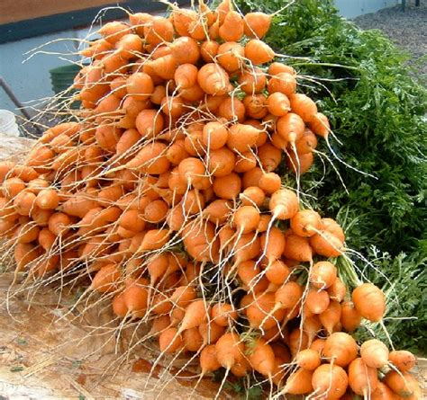 Toko Bibit Wortel wortel bulat parisian carrot toko benih tanaman