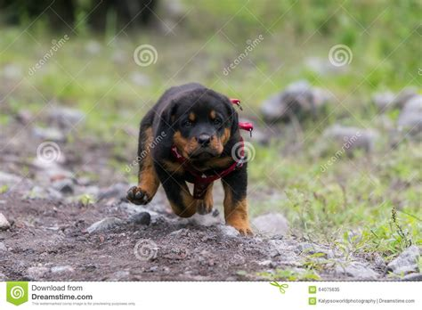 rottweiler running rottweiler running stock photo image 64075635