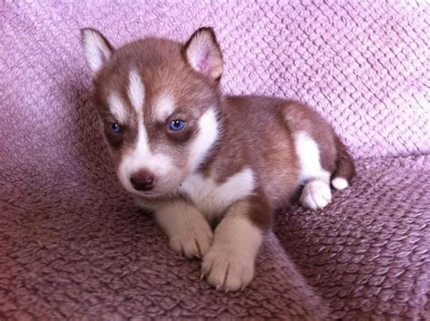 siberian husky puppies for sale in colorado siberian husky puppies for sale mauchline ayrshire pets4homes