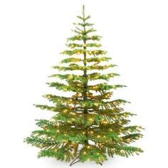 noble fir transplants noble fir tree on flowering plants t