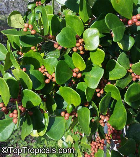 ficus triangularis ficus natalensis subsp leprieurii triangle ficus triangle leaf fig tree
