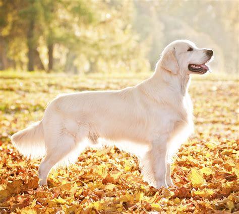 golden retriever ta 10 intressanta fakta om golden retriever h 228 rliga hund